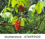 Guarana Shrubs With Fruits ...