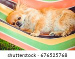 Cute Pekingese Dog Relaxing On...
