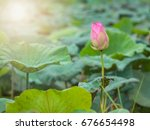 Water Lily Or Lotus And Leaf