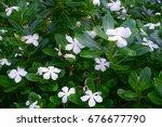 White Desert Rose Frangipani ...