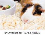 A Pet Guinea Pig. Guinea Pig I...