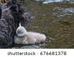 A Little Baby Swan Is Swimming...