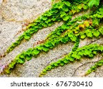 Green ivy climbing on the wall  in qingdao city shangdong province China .