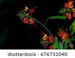caesalpinia pulcherrima... | Shutterstock . vector #676731040