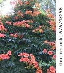 orange ivy  flower  campsis... | Shutterstock . vector #676743298