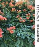 orange ivy  flower  campsis... | Shutterstock . vector #676743358