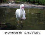 Small photo of White spoonbill Ajaia sitting in the water and waiting