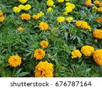 Small photo of African marigold