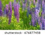 lupinus  lupin  lupine field... | Shutterstock . vector #676877458