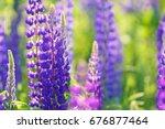 lupinus  lupin  lupine field... | Shutterstock . vector #676877464