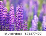 lupinus  lupin  lupine field... | Shutterstock . vector #676877470