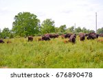 A Herd Of Bison With Some New...