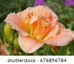 Daylily Flower Hemerocallis