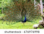 peacock spread tail feathers is ... | Shutterstock . vector #676976998