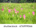 Curcuma Alismatifolia  Siam...