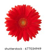 Bright Red Gerbera Flower...