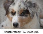 australian shepherd puppy coat... | Shutterstock . vector #677035306
