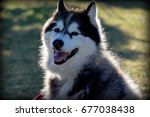 Small photo of Siberian Husky with sun shining on his fur