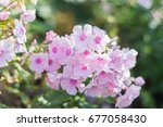 amazing cluster of pink phlox... | Shutterstock . vector #677058430