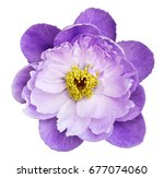 peony flower white purple on a... | Shutterstock . vector #677074060