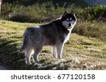Small photo of Siberian Husky Looking Back