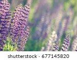 lupinus  lupin  lupine field... | Shutterstock . vector #677145820