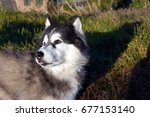 Small photo of Siberian Husky Looking over shoulder