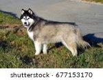 Small photo of Siberian Husky sideways