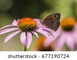 Small photo of Tithonus Pyronia butterfly on a Echinacea flower [Oranje zandoogvlinder]