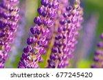 lupinus  lupin  lupine field... | Shutterstock . vector #677245420