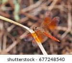 Large Yellow Orange Dragonfly...