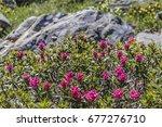 Small photo of Alpine rose in Alps in Aosta Valley, La Thuile, mountain flora.