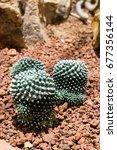 Small photo of Mamillaria bucarellensis, cactus in the garden