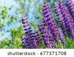 lupinus  lupin  lupine field... | Shutterstock . vector #677371708