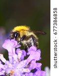 bumblebee pollinating lavender ... | Shutterstock . vector #677386858