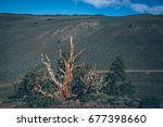 bristlecone pine forest in the... | Shutterstock . vector #677398660