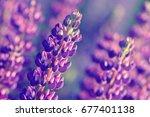 lupinus  lupin  lupine field... | Shutterstock . vector #677401138