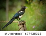 The Eurasian Magpie Or Common...