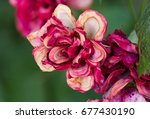 dying roses on green floral... | Shutterstock . vector #677430190