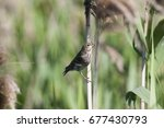 common rosefinch young perched... | Shutterstock . vector #677430793