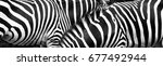 zebras in group with stripes of ... | Shutterstock . vector #677492944
