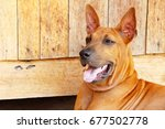 brown dog cute is staring on... | Shutterstock . vector #677502778