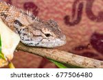 Small photo of Close up of Female Oriental garden lizard (chordata: Sarcopterygii: reptilia: squamata: Agamidae: Calotes versicolor) crawling and resting on a hard branch with fabric background