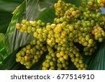 a bunch of palm fruit   Shutterstock . vector #677514910