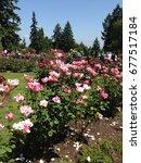 Stock photo rose garden 677517184