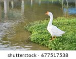 One White Young Swan Standing...