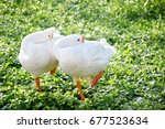 Two Young White Swan Are...