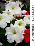 Small photo of White Vinca flowers
