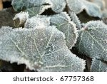 Frozen Leaves Of Common Ivy ...