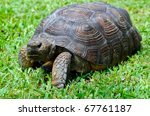 Close Up Of Gopher Tortoise In...